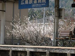 梅林駅ホームから見える梅の花